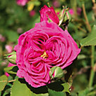 Mme Isaac Pereire <br />(Rosa borboniana)