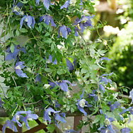 Alpenwaldrebe Frances Rives <br />(Clematis alpina) | Zierpflanzen