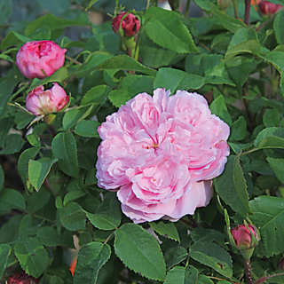 Jacques Cartier Zwergstamm <br />(Rosa damascena 'Jacques Cartier') | Rosen