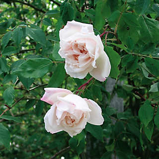 Mme Alfred Carrière  <br />(Rosa indica noisettiana) | Rosen