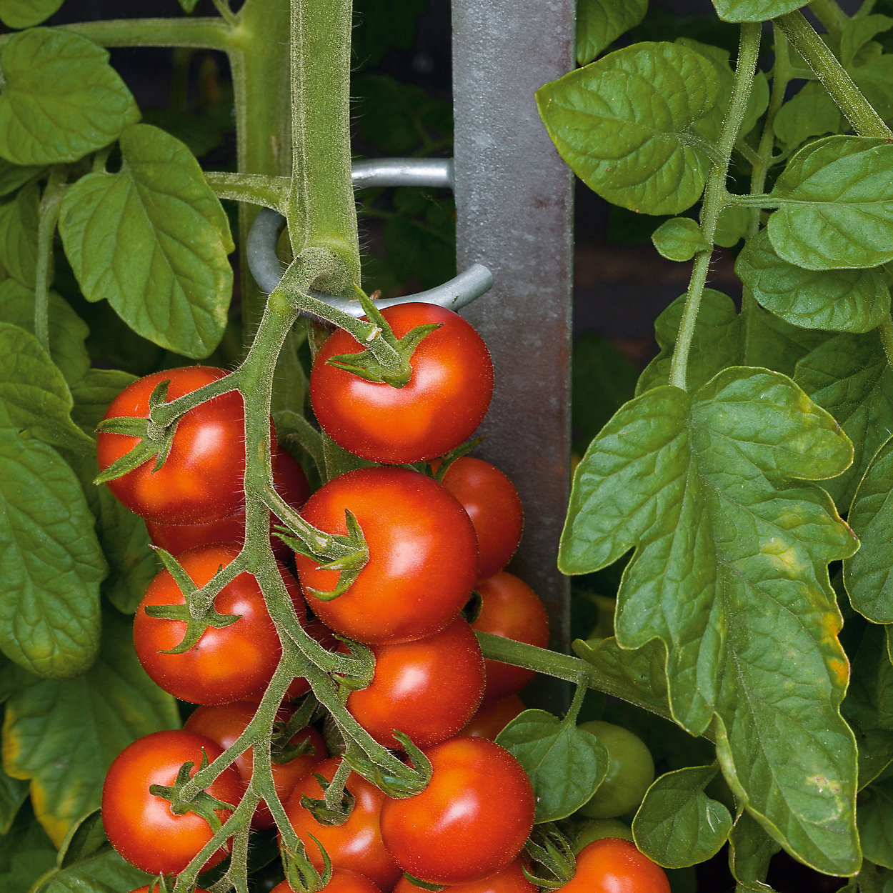Plant Supports for Tomatoes