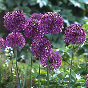 Iranlauch Purple Sensation <br />(Allium aflatunense) (20 Stück)