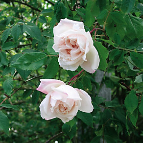 Mme Alfred Carrière <br />(Rosa indica noisettiana)