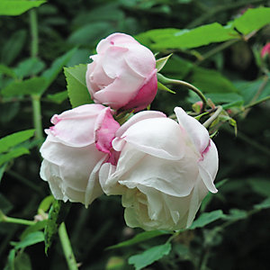 Ramblerrose 'Ayrshire Queen'