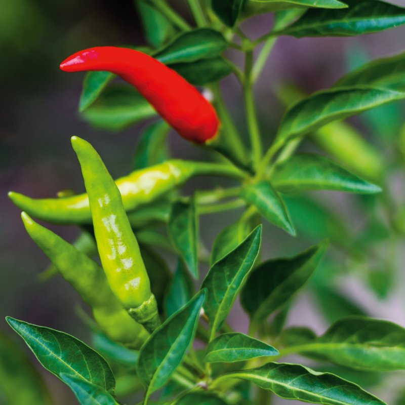 Chili 'Thai Dragon' (Capsicum annuum)