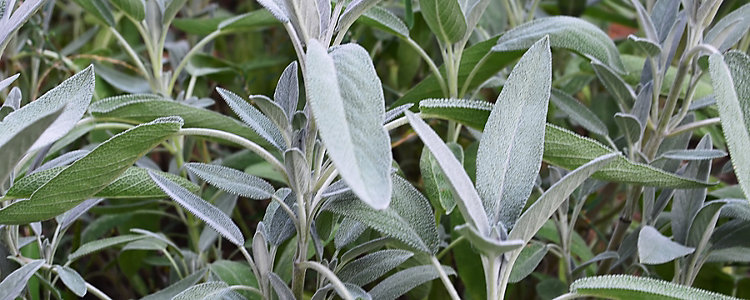 Echter Salbei (Salvia officinalis)